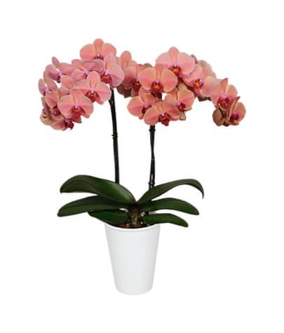 phalaenopsisimg